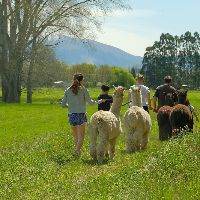 Things to do around Geraldine, Alpaca walks